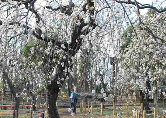 郷土の森の梅