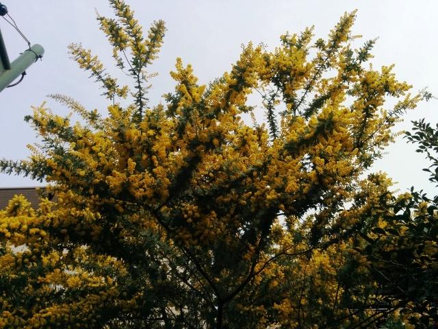 ミモザの大樹
