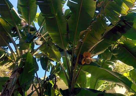 農工大のバナナ